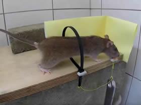 怎么自制捕鼠器的方法 扎带手工制作捉鼠机关