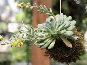 怎么用绳子做空中多肉植物盆栽的方法图解